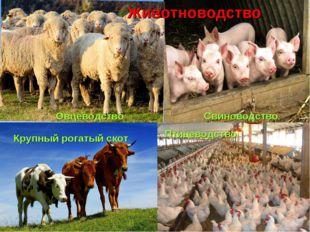 Животноводство Овцеводство Крупный рогатый скот Свиноводство Птицеводство