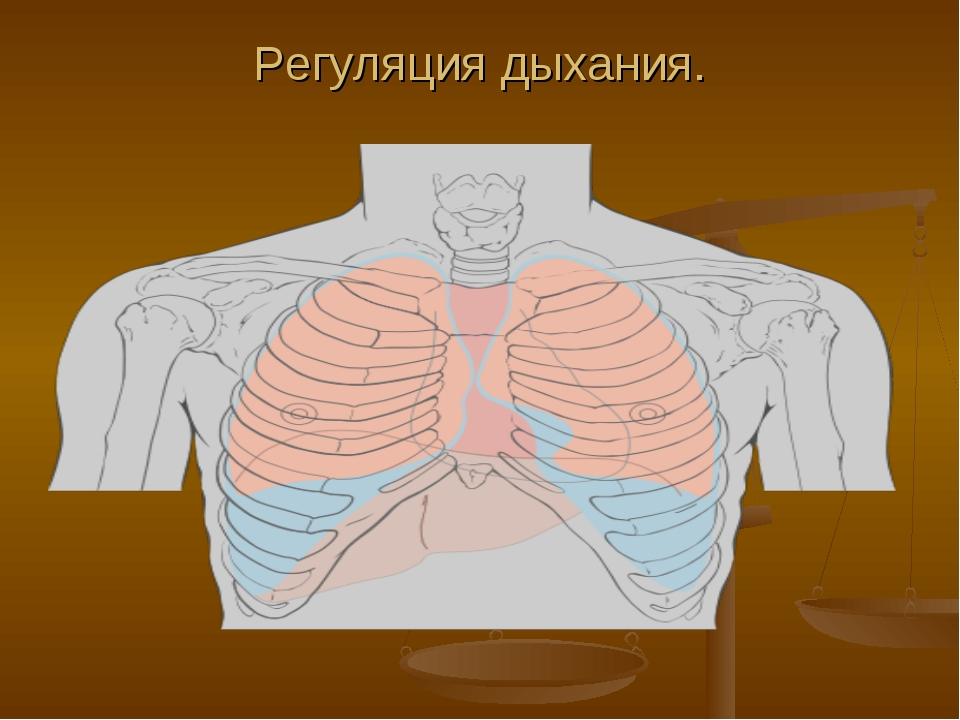 Регуляция дыхания.