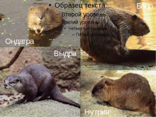 Ондатра Выдра Бобр Нутрия