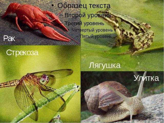 Рак Стрекоза Лягушка Улитка