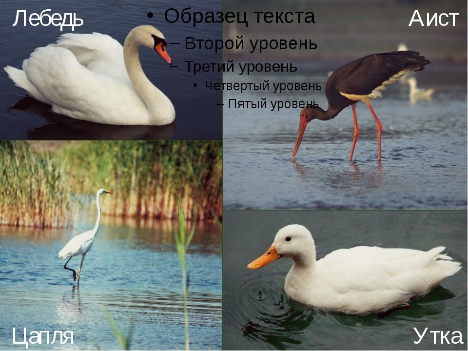 Лебедь Аист Цапля Утка