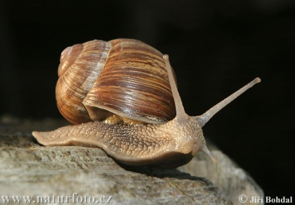 http://www.naturephoto-cz.com/photos/others/roman-snail-21973.jpg