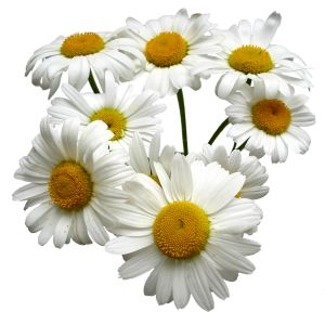 http://gsassociation51.files.wordpress.com/2011/05/daisies.jpg