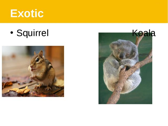 Exotic Squirrel Koala