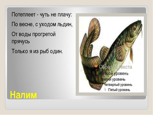 Налим Потеплеет - чуть не плачу: По весне, с уходом льдин, От воды прогретой...