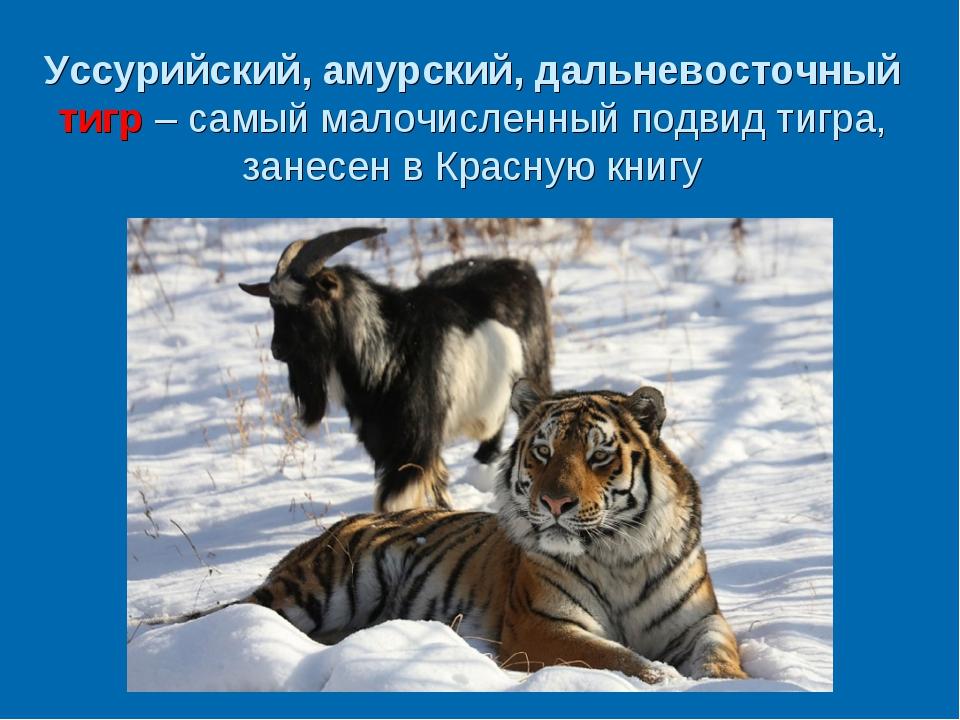 Уссурийский, амурский, дальневосточный тигр – самый малочисленный подвид тигр...