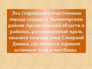 Эта старейшая отечественная порода создана в Холмогорском районе Архангельско