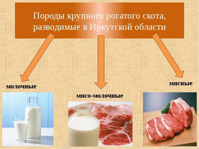 Породы крупного рогатого скота, разводимые в Иркутской области молочные мясо-...
