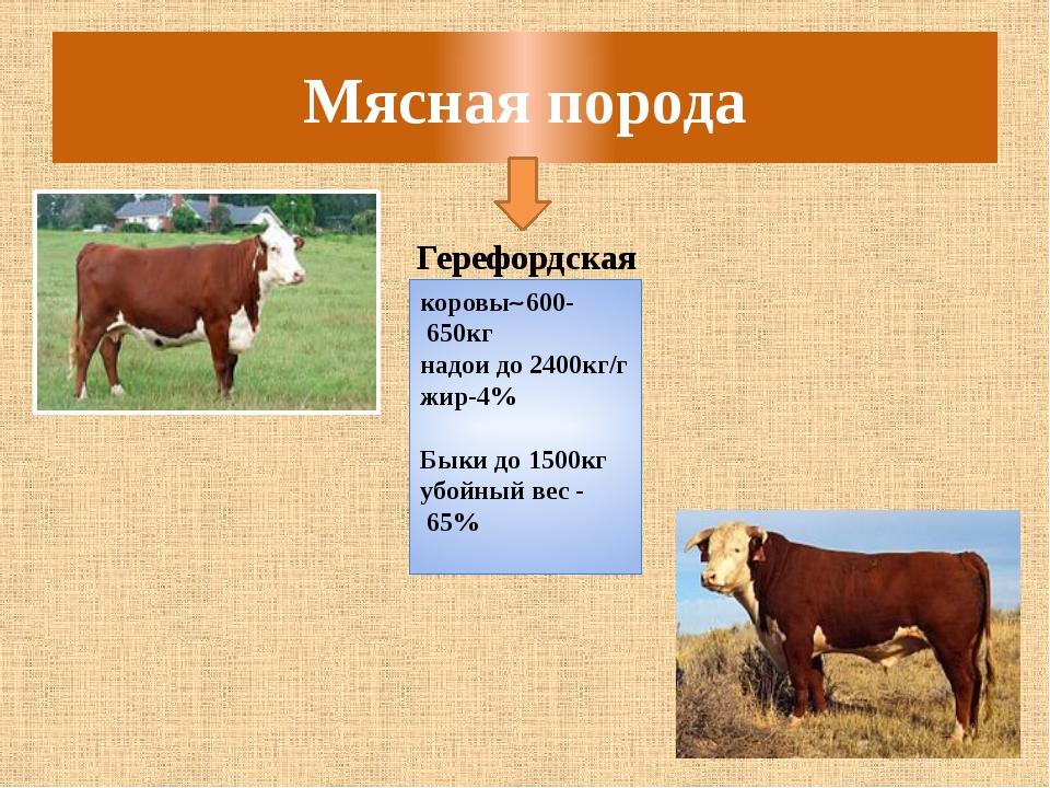 Мясная порода Герефордская коровы600- 650кг надои до 2400кг/г жир-4% Быки до...