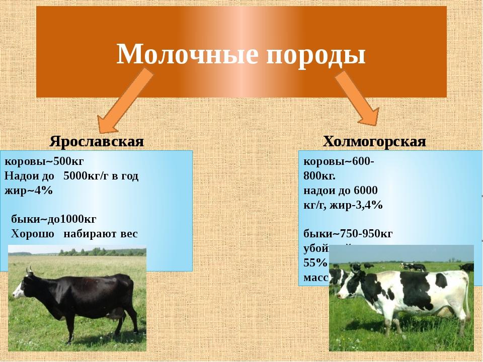 Молочные породы Ярославская Холмогорская коровы500кг Надои до 5000кг/г в год...