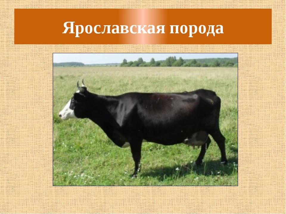Ярославская порода