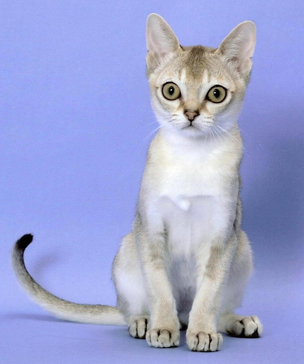 C:\Users\Владелец\Desktop\Сингапурская кошка (сингапура) фото singapura cat.jpg
