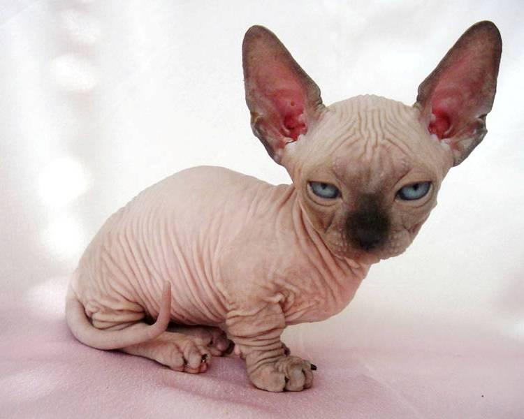 C:\Users\Владелец\Desktop\кошка Минскин фото minskin cat.jpg