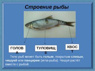 Строение рыбы Тело рыб может быть голым, покрытым слизью, чешуей или панцирем