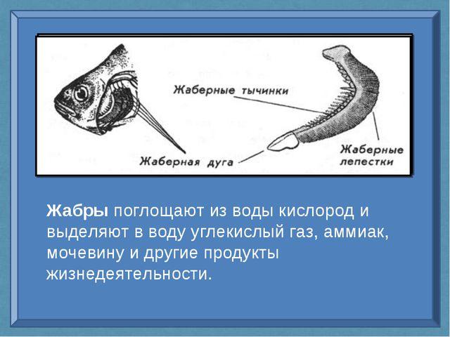 Жабры поглощают из воды кислород и выделяют в воду углекислый газ, аммиак, мо...