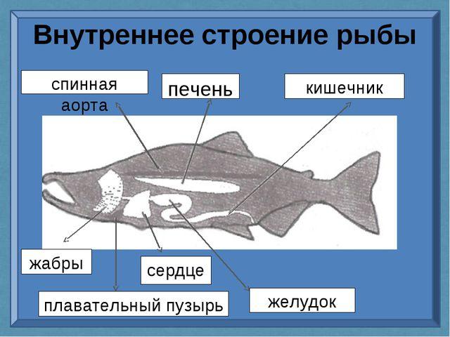Внутреннее строение рыбы спинная аорта печень кишечник желудок сердце жабры п...