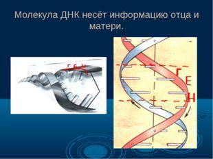 Молекула ДНК несёт информацию отца и матери.