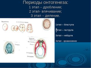 Периоды онтогенеза: 1 этап – дробление; 2 этап- впячивание; 3 этап – деление.