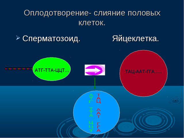 Оплодотворение- слияние половых клеток. Сперматозоид. Яйцеклетка. АТГ-ТТА-ЦЦТ...
