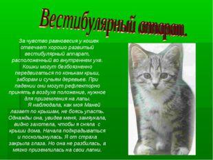 За чувство равновесия у кошек отвечает хорошо развитый вестибулярный аппарат