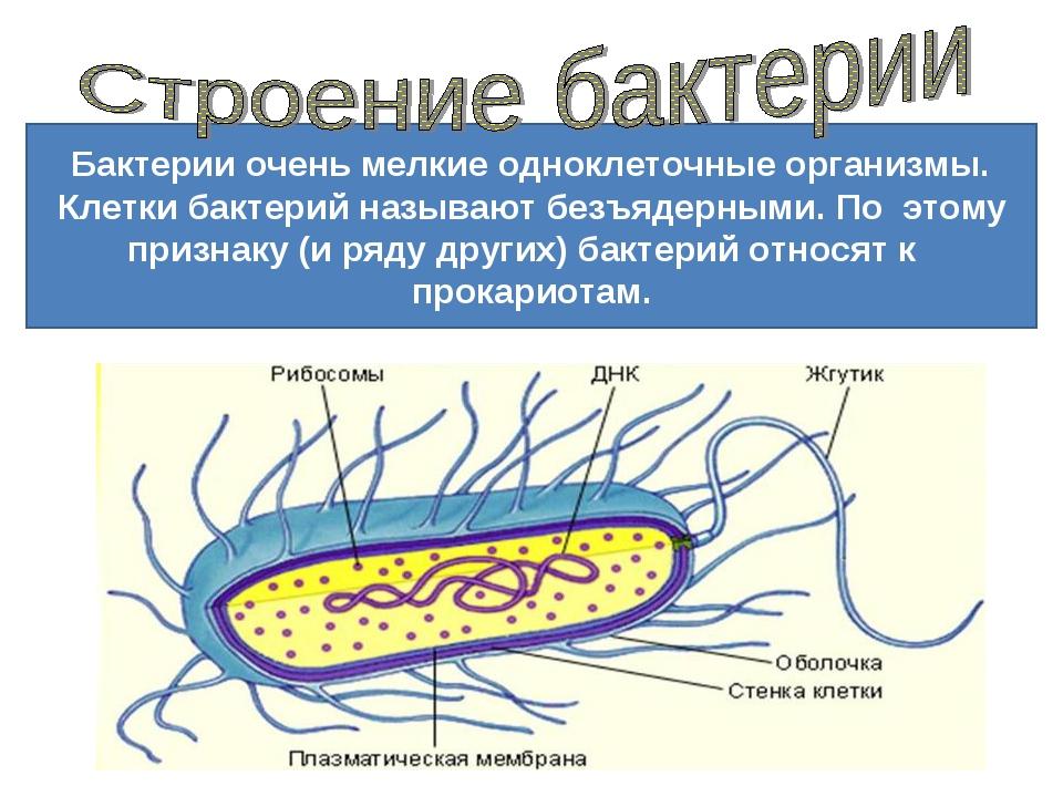 Бактерии описание и картинки