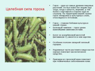 Целебная сила гороха Горох – одно из самых древних пищевых растений. Он был и