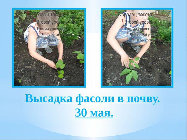 Высадка фасоли в почву. 30 мая.