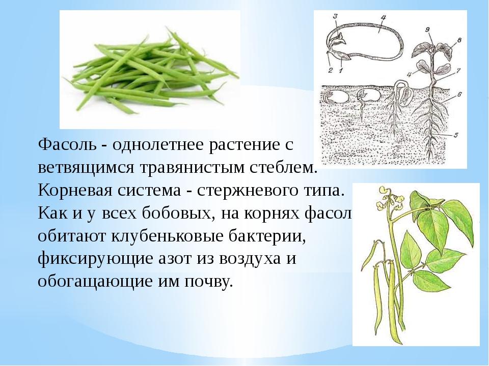 Фасоль - однолетнее растение с ветвящимся травянистым стеблем. Корневая систе...