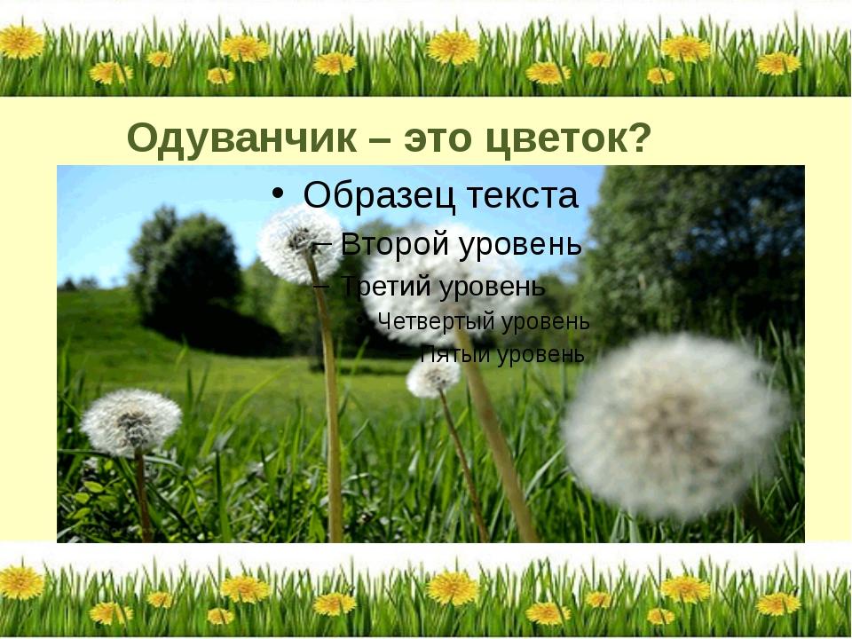 Одуванчик – это цветок?