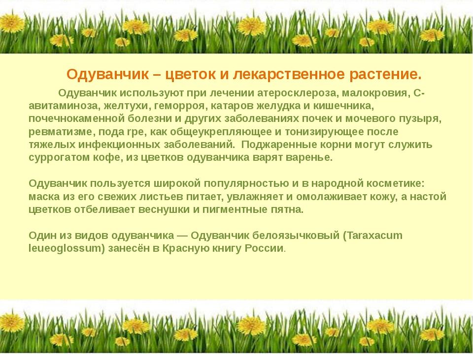 Одуванчик – цветок и лекарственное растение. Одуванчик используют при лечени...