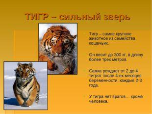 ТИГР – сильный зверь Тигр – самое крупное животное из семейства кошачьих. Он