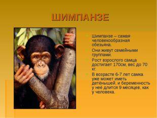 ШИМПАНЗЕ Шимпанзе – самая человекообразная обезьяна. Они живут семейными груп