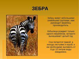 ЗЕБРА Зебры живут небольшими семейными группами, ими руководит жеребец-произв