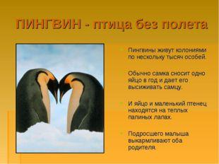 ПИНГВИН - птица без полета Пингвины живут колониями по нескольку тысяч особей
