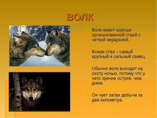 ВОЛК Волк живет хорошо организованной стаей с четкой иерархией. Вожак стаи –