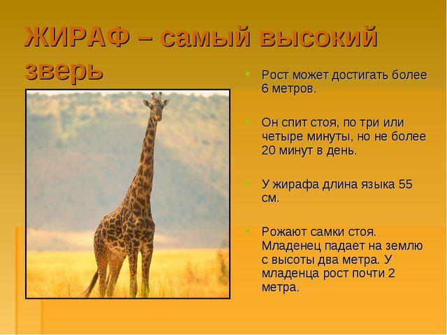 ЖИРАФ – самый высокий зверь Рост может достигать более 6 метров. Он спит стоя...