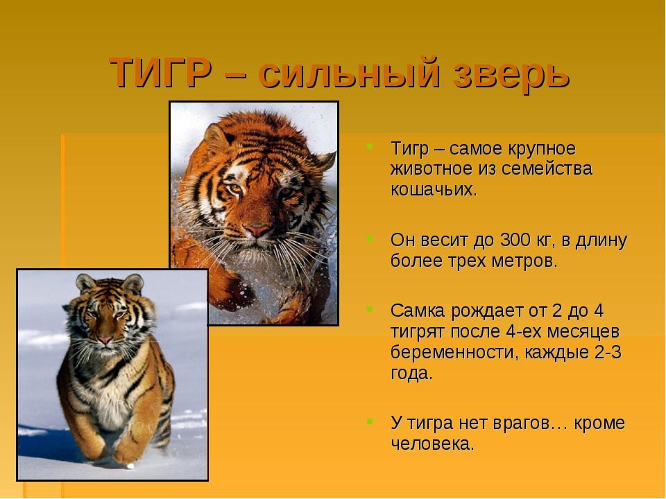 ТИГР – сильный зверь Тигр – самое крупное животное из семейства кошачьих. Он...