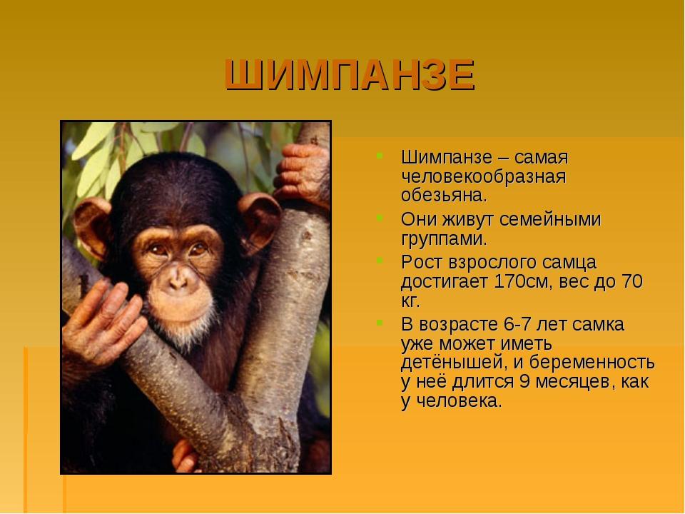 ШИМПАНЗЕ Шимпанзе – самая человекообразная обезьяна. Они живут семейными груп...