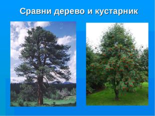 Сравни дерево и кустарник