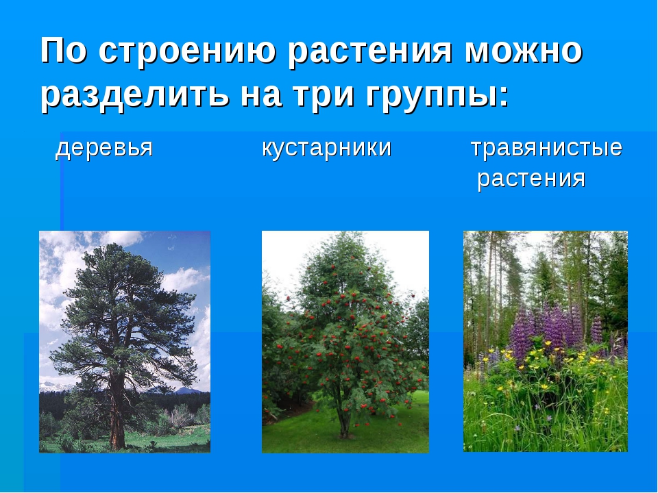 По строению растения можно разделить на три группы: деревья кустарники травян...