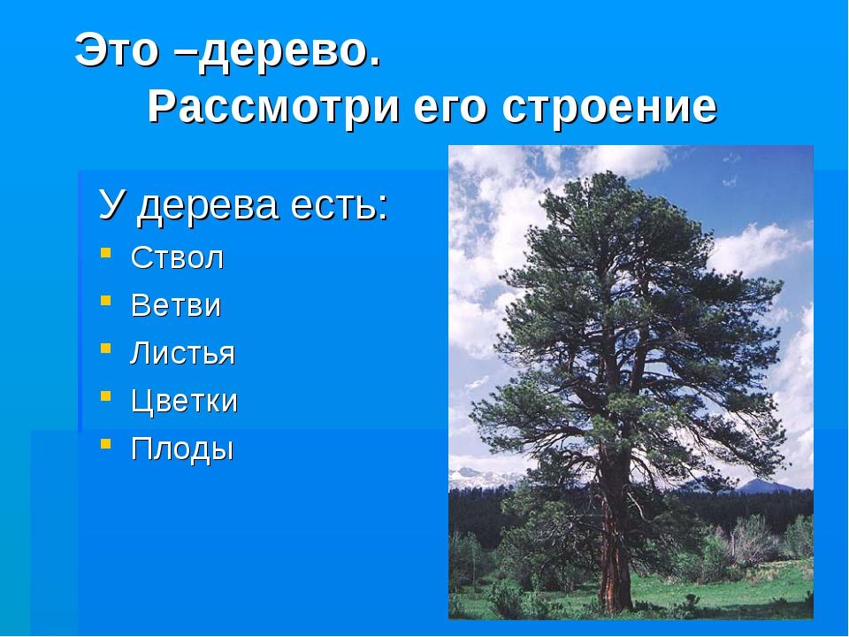 Это –дерево. Рассмотри его строение У дерева есть: Ствол Ветви Листья Цветки...