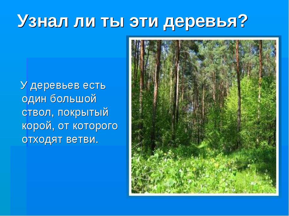 Узнал ли ты эти деревья? У деревьев есть один большой ствол, покрытый корой,...