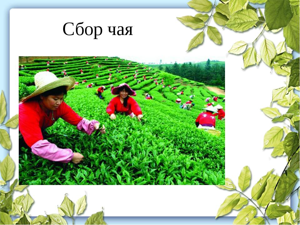 Сбор чая