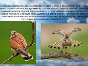 По морфологическим характеристикам и способу охоты соколы обычно разделяются