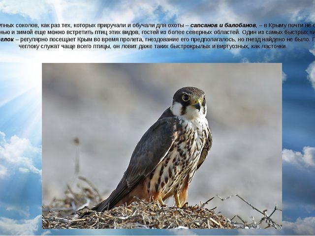 Местных крупных соколов, как раз тех, которых приручали и обучали для охоты –...