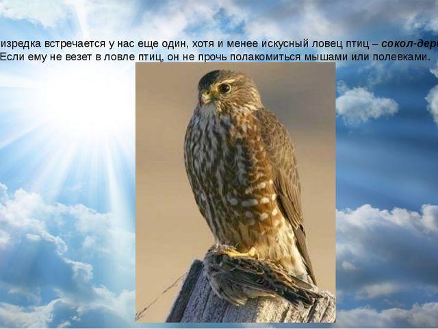 Зимой изредка встречается у нас еще один, хотя и менее искусный ловец птиц –...