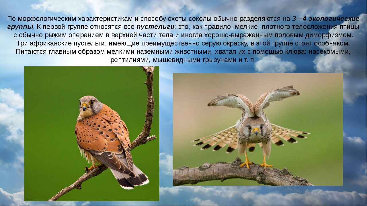 По морфологическим характеристикам и способу охоты соколы обычно разделяются...