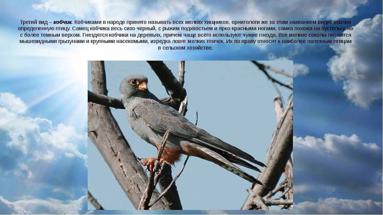 Третий вид – кобчик. Кобчиками в народе принято называть всех мелких хищников...