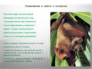 Размножение и забота о потомстве Почти все виды летучих мышей производят пото