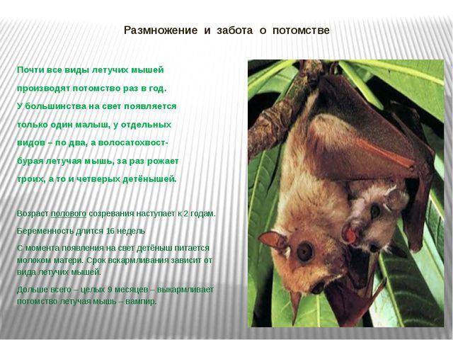 Размножение и забота о потомстве Почти все виды летучих мышей производят пото...
